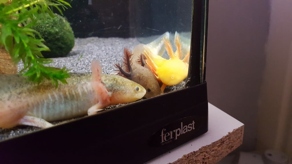 Bumble, Bulba, Dragon. Axolotls vinden het vaak fijn samen te liggen; zowel naast of op elkaar.