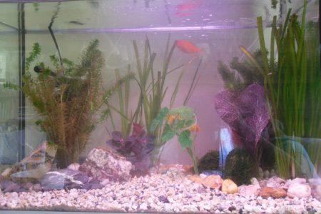 Koudwateraquarium met twee goudvissen. Waterpest, hoornblad, Valisernia,  Javamosen 3 neppers om het aan te kleden, mooie stenen en grind