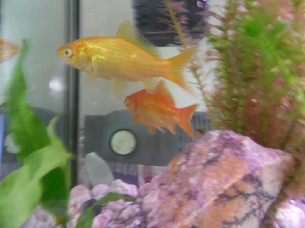 goudvis geel en oranje