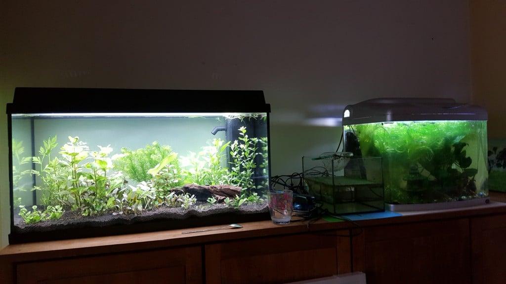 De bewoners van het kleine aquarium (guppen, slakken en een pleco) verhuizen binnenkort naar een groter onderkomen