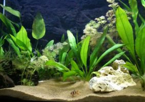de eerste vissen in het op nieuw gestart aquarium 1