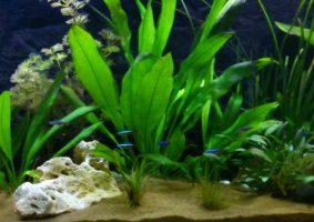 de eerste vissen in het op nieuw gestart aquarium