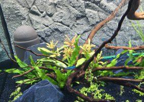 Aquarium met Neon tetra's