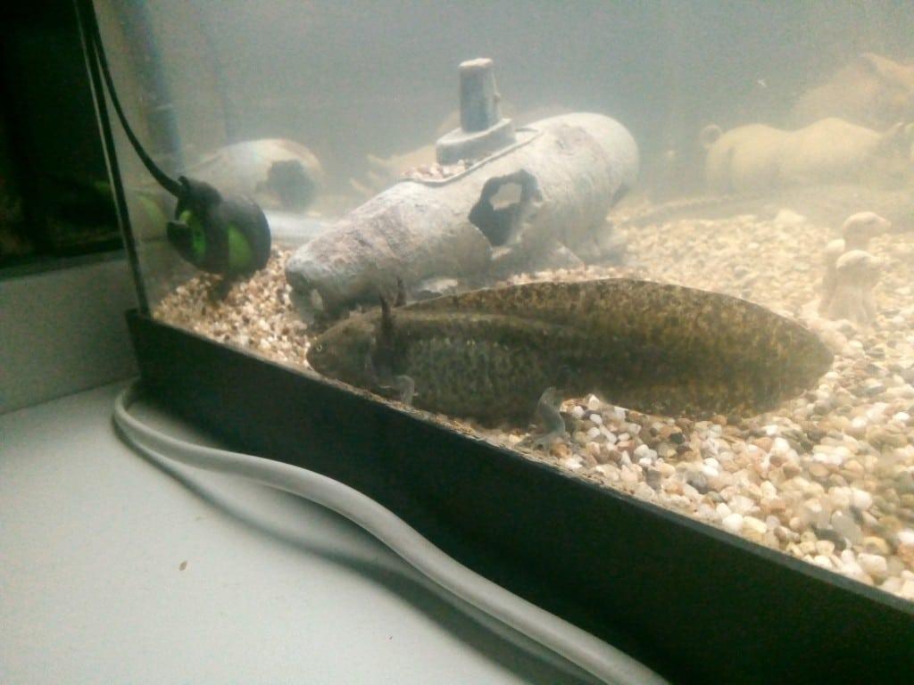 Een wildkleur axolotl van ongeveer 12 cm lang