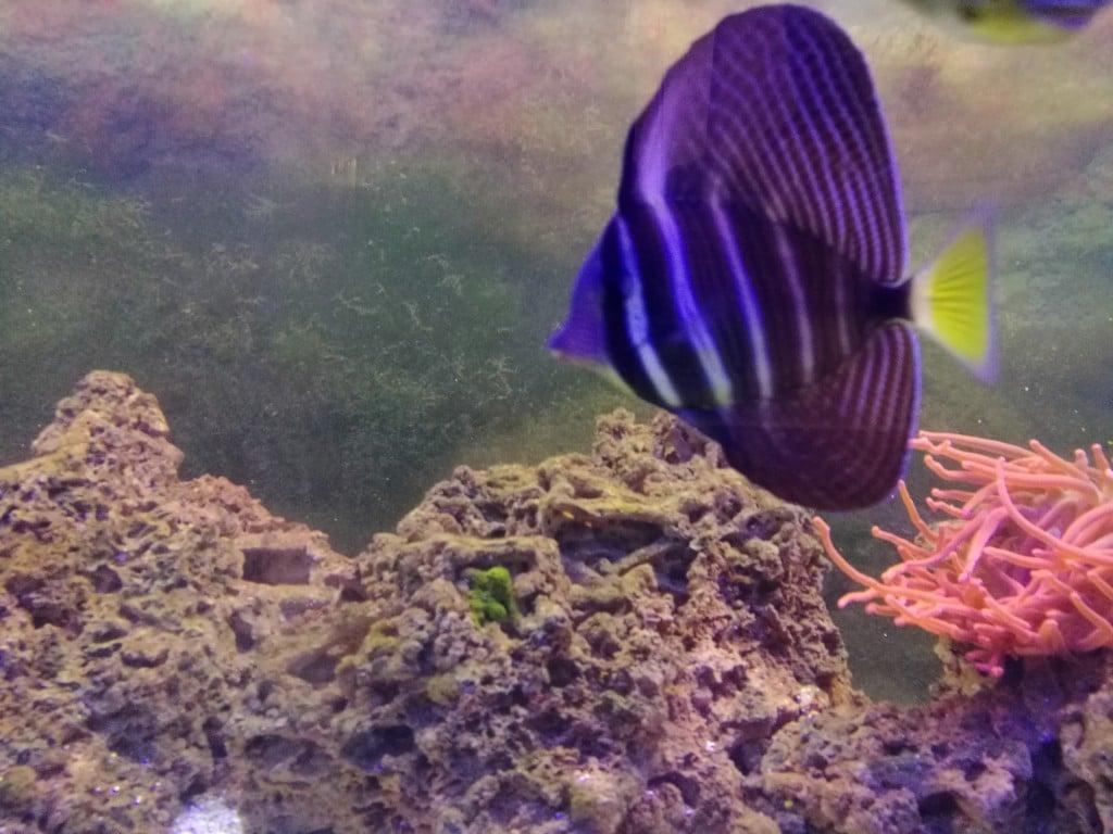 Mijn meeste recente toevoeging, een prachtige Zebrasoma Velifer.