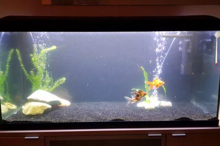 Mijn 2 sluierstaarten, en 1 shubunkin goudvis (deze gaat in de zomer de vijver in)