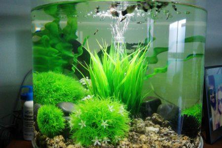 In deze aquarium zitten mijn dames en baby panda platies.