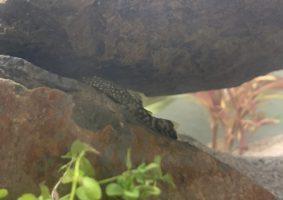 Zou eigenlijk wel willen weten hoe deze vis heet. Heb er 2 in mijn aquarium. Helaas niet de naam opgeschreven toen ik ze kocht.