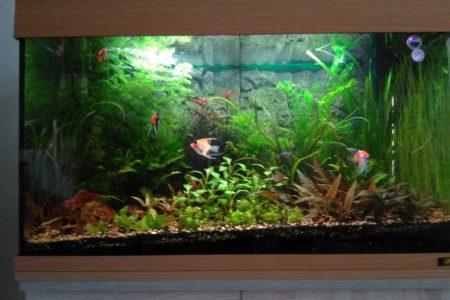 Mooie gezelschaps aquarium met veel planten en 4 prachtige maanvissen